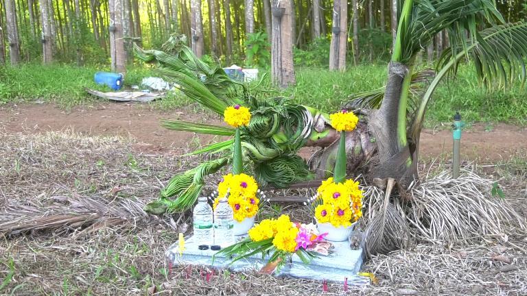มาถูกจังหวะ!! ชาวบ้านแหลมงอบ ฮือฮาพบต้นมะพร้าวประหลาดแตกยอดคล้ายหัวพญานาค