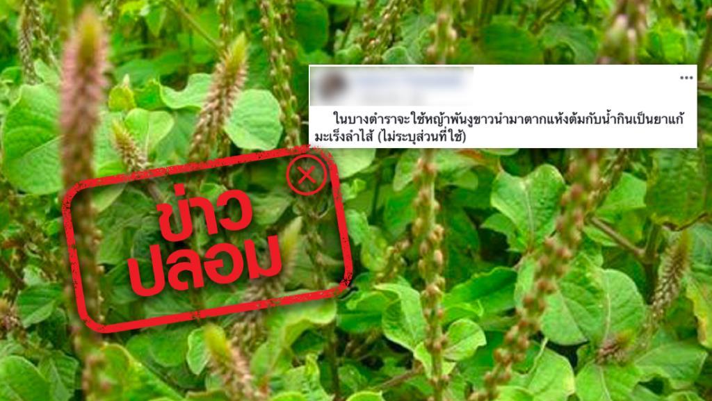 ข่าวปลอม! สมุนไพรหญ้าพันงูขาว ช่วยรักษาโรคมะเร็งลำไส้