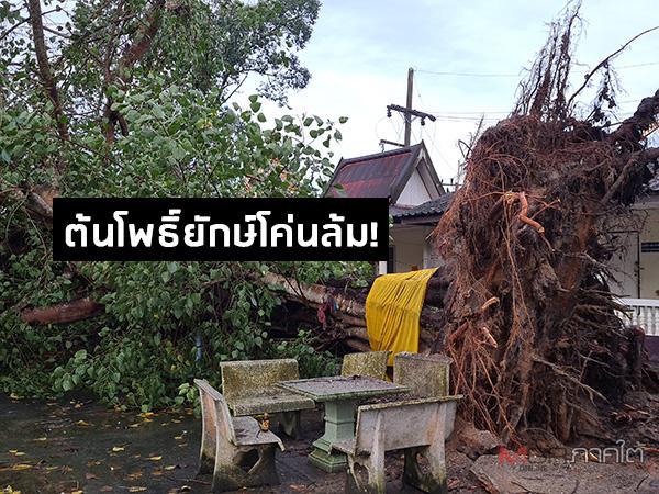 """อิทธิพลพายุ """"ซินลากู"""" ทำฝนตกลมแรง พัดต้นโพธิ์ขนาดใหญ่วัดน้ำน้อยในโค่นล้ม"""