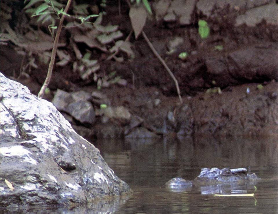 """น่าห่วง! """"จระเข้น้ำจืดพันธุ์ไทย""""ใกล้สูญพันธุ์ ปัจจุบันพบในป่าอนุรักษ์เพียง 6 แห่ง"""