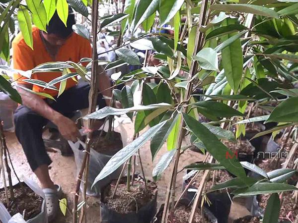 """เกษตรกรชาวลพบุรีสั่งทุเรียนเสริมรากพันธุ์ """"มูซังคิง"""" 500 ต้น เตรียมนำปลูกในพื้นที่"""