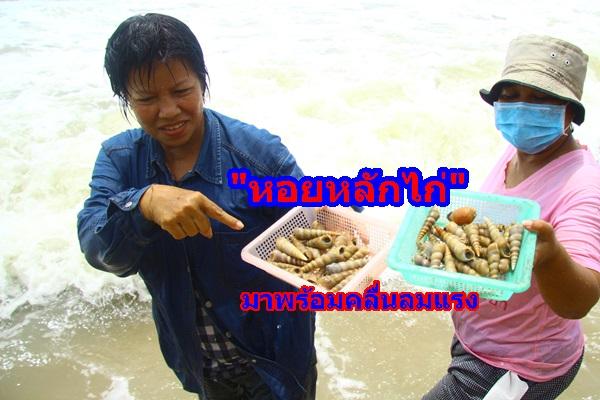 """""""หอยหลักไก่"""" มาพร้อมคลื่นลมมรสุม ซัดขึ้นชายหาด ชาวบ้านเก็บมาทำอาหาร ส่งขายสร้างรายได้งาม"""