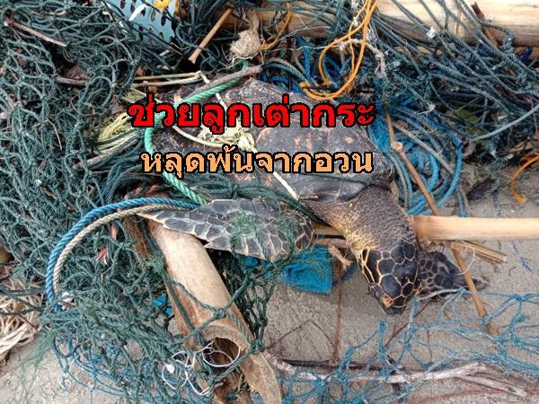 ช่วยลูกเต่ากระติดอวนประมง สภาพอ่อนเพลีย นำไปดูแลก่อนปล่อยสู่ทะเล