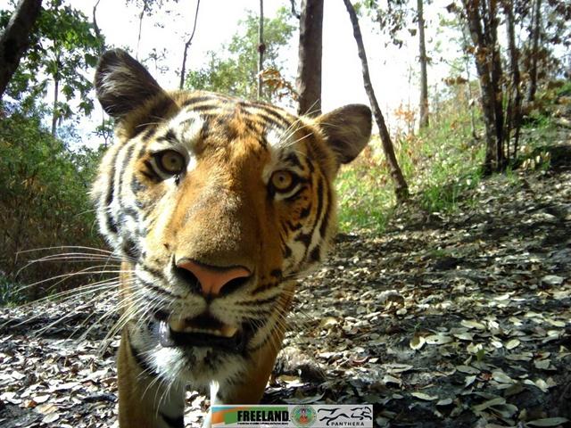 เสือโคร่งจ๊ะเอ๋!! รายงานตัวที่หน้ากล้องดักถ่าย อช. เขาแหลม สะท้อนผืนป่าแห่งนี้สมบูรณ์