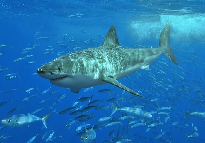 นักโต้คลื่นออสซี่ใจเด็ด  รัวหมัดไม่ยั้งใส่ฉลามขาวยักษ์  ช่วยชีวิตเมียเอาไว้ได้