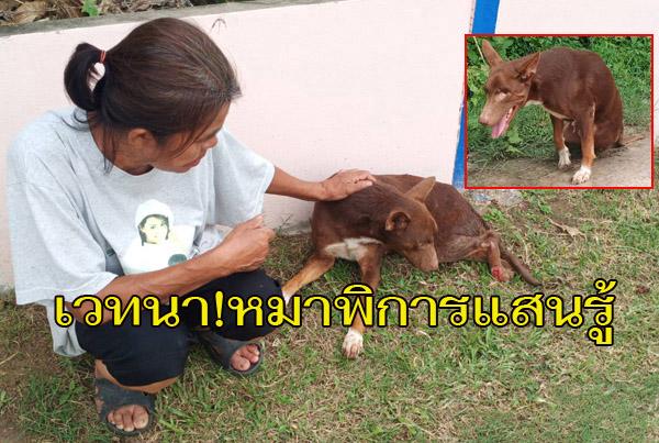 """น่าเวทนา...""""ทองแดง""""สุนัขแสนรู้ ถูกยิงตาบอดซ้ำรถชนขาหัก เดินลากขาตามเจ้าของไม่ห่าง"""