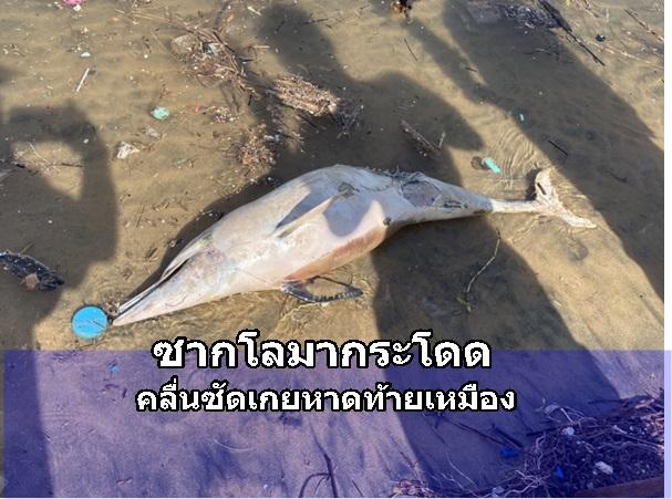 เศร้า! พบซากโลมากระโดดลอยเกยตื้นหาดท้ายเหมือง