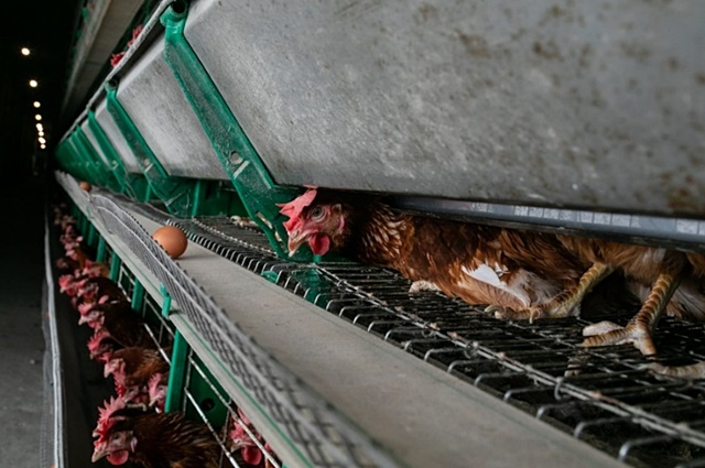"""นักถ่ายภาพสารคดีชื่อดัง เผยเบื้องหลัง """"อุตสาหกรรมไข่ไก่ในไทย"""" กับความโหดร้ายที่หลายคนอาจมองข้าม"""