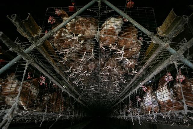 แม่ไก่ที่ต้องยืนบนพื้นลวดแข็ง กับชะตากรรมที่กำหนดไว้ตลอดชีวิตของพวกเขา