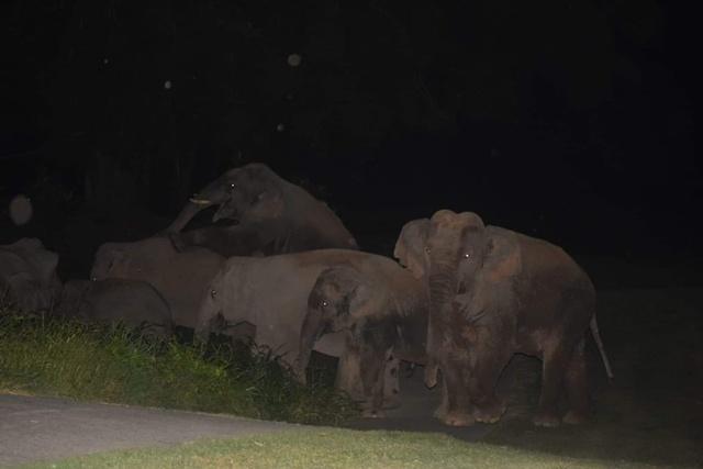 หาดูยาก! ช้างป่าเขาใหญ่ 'พลายกอล์ฟ' ชิงเข้าเรือนหอ