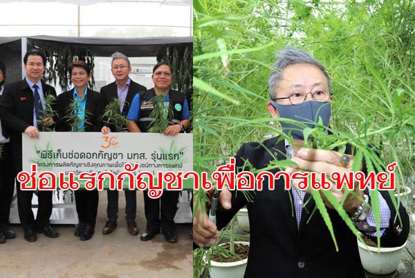 ช่อแรก! มทส. เก็บผลผลิตช่อดอกกัญชารุ่นแรก 100 กก. มอบ รพ.คูเมืองผลิตยาไทย 9 ตำรับ