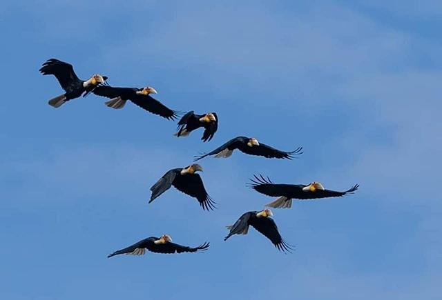 งดงามนัก! นกเงือกกรามช้างฝูงใหญ่ กว่า 30 ตัว บินเหนือช่องเย็น อช.แม่วงก์ ซึ่งสะท้อนว่าผืนป่าสมบูรณ์