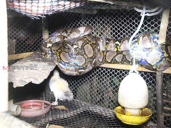 กู้ภัยเบตงเข้าช่วยจับงูเหลือมตัวยาว 4 เมตร หลังบุกเขมือบไก่ถึงเล้าจนอิ่ม