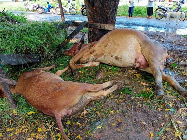เจ้าของสุดเศร้า! ผูกวัวเลี้ยงไว้ใต้ต้นสะเดาฟ้าผ่าเปรี้ยงตายเกลี้ยง 4 ตัว รวมลูกน้อยในท้อง