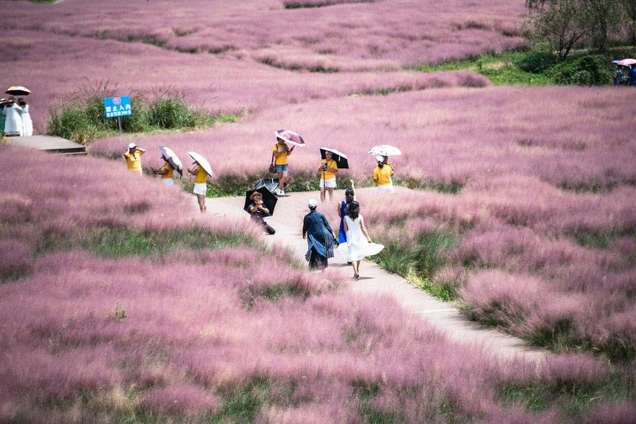 ทุ่งหญ้าสีชมพู หุบเขาเสินฉวน มณฑลกุ้ยโจว (ภาพ : ซินหัว)