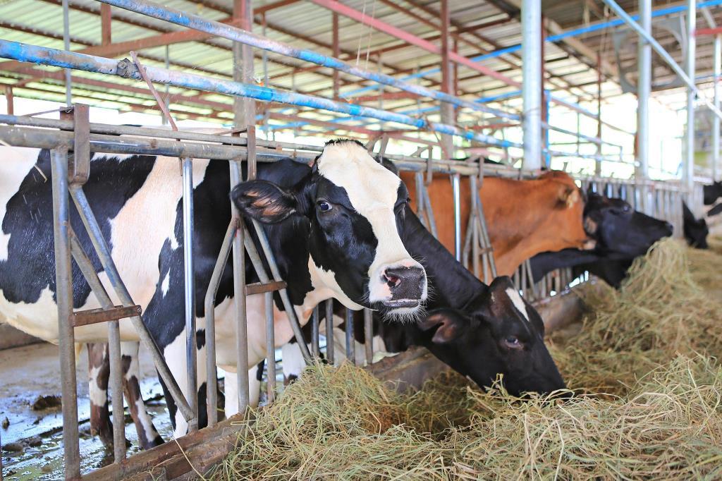 โคนมไทยปรับตัวด่วนรับFTAปี63 ต้นทุนนมนอกต่ำกว่านมไทย 50%