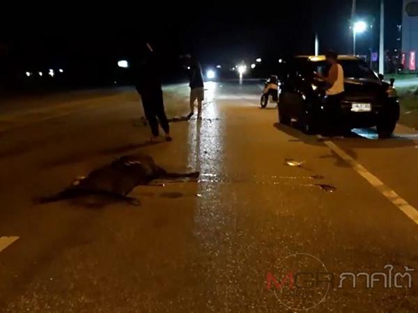 เกิดอุบัติเหตุซ้ำซ้อนรถยนต์พุ่งชนวัวบนถนนสายสนามบินหาดใหญ่ มีผู้บาดเจ็บ 3 คน