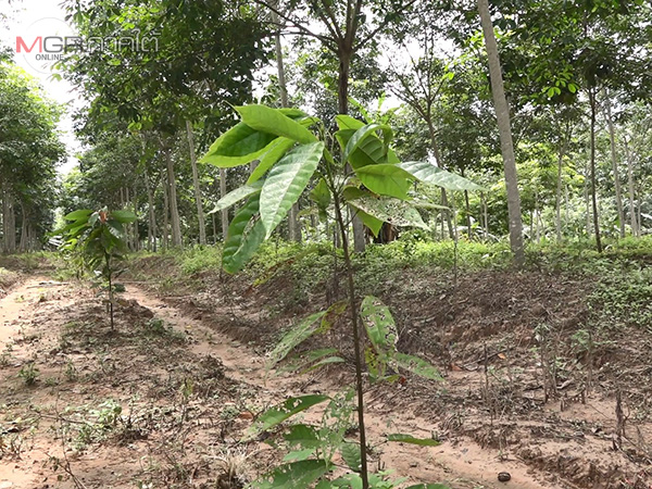ชาวใต้เริ่มหันปลูกต้นโกโก้ พืชเศรษฐกิจตัวใหม่แซมในสวนยางพารา