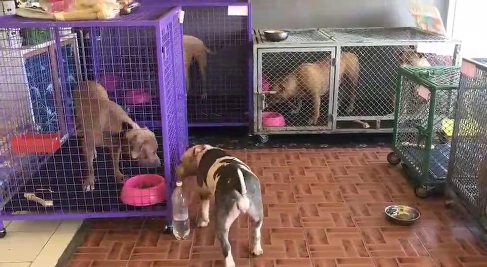 สุดโชคดีคนรักหมาใจบุญเสนอให้บ้านเลี้ยง 6 พิตบูล สัตวแพทย์เผยนางหงส์เจ้าของหมา อาการดีขึ้นเครียมออก รพ.สิ้นเดือน