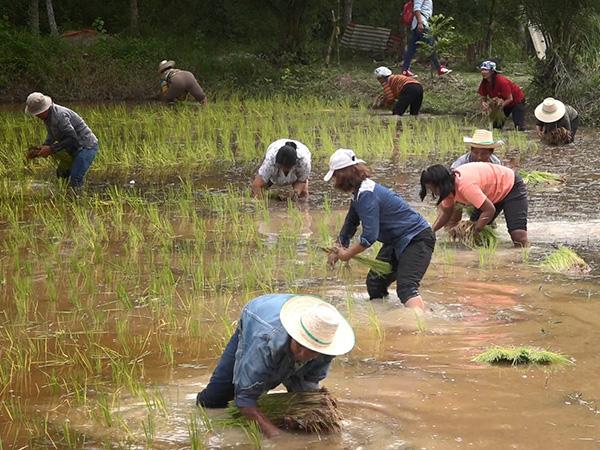 ชาวพัทลุง-สงขลา พลิกนาร้างปลูกข้าวในวันคล้ายวันเกิดเจ้าอาวาสวัดนาทวี