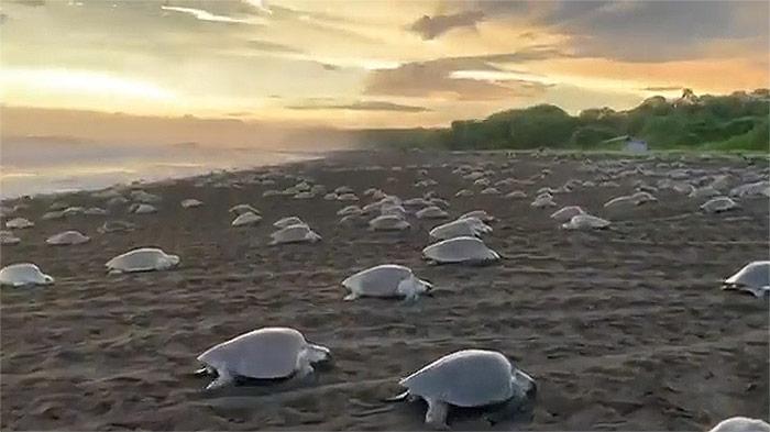 """มหัศจรรย์! เต่าทะเลนับพัน แห่ขึ้นฝั่งวางไข่ที่ """"คอสตาริกา"""""""