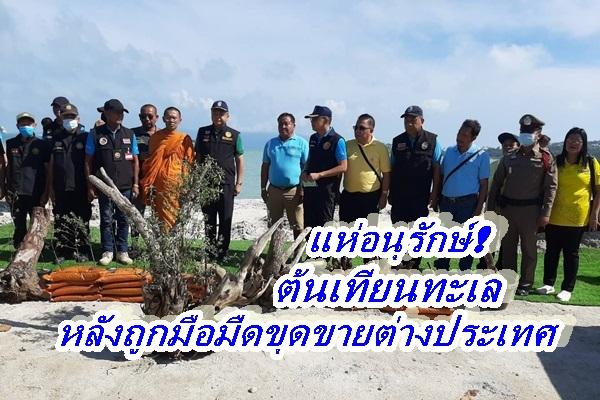 คนสมุยตื่นแห่อนุรักษ์ต้นเทียนทะเลหลังคนร้ายขโมยไปทำบอนไซส่งขายต่างประเทศ