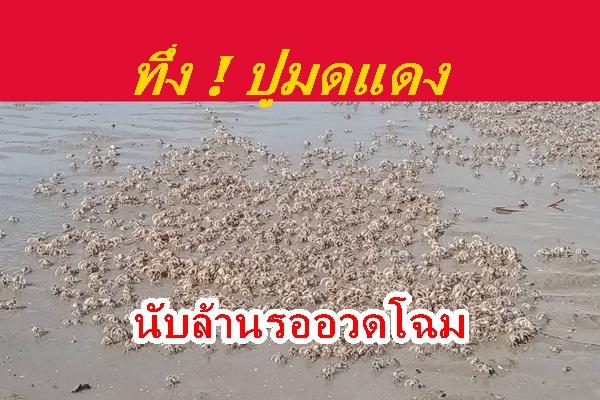 ว้าว ! แสงสีทองสาดส่องพร้อมฝูงปูมดแดงนับล้านตัวที่หาดตั้งเลน