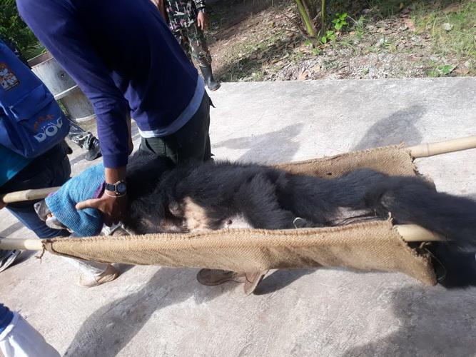 """ข่าวดี!3หมีแม่ลูกสิ้นฤทธิ์ถูกยิงยาสลบ เผยเป็น """"หมีควาย""""ไม่ใช่หมีหมา ปล่อยคืนป่าภูเขียว"""