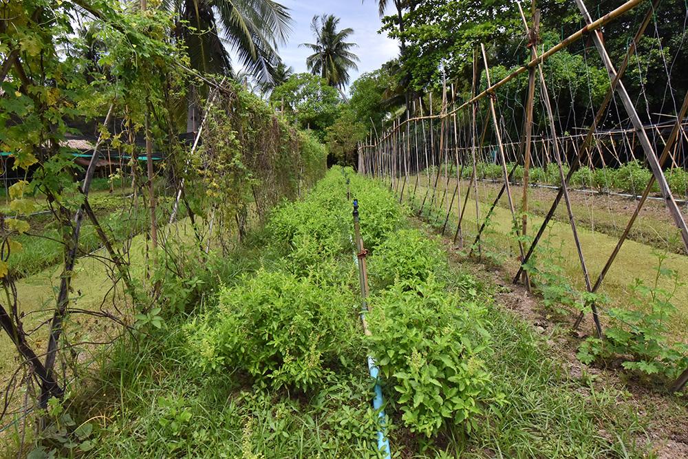 แปลงปลูกพืชภายในปฐมออร์แกนิกฟาร์ม