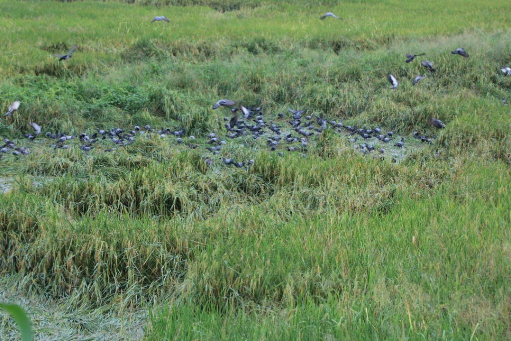 ตะลึง!! ฝูงนกพิราบนับหมื่นบุกลงกินข้าวในแปลงนา