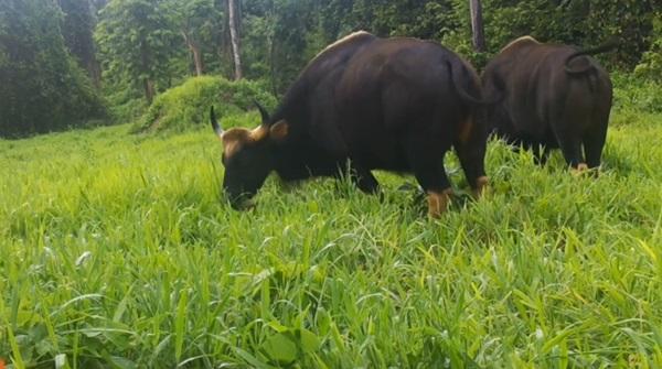 ฝนตกชุก หญ้าสะบัดใบฝูงสัตว์ป่าออกหากินอย่างสุขสำราญ