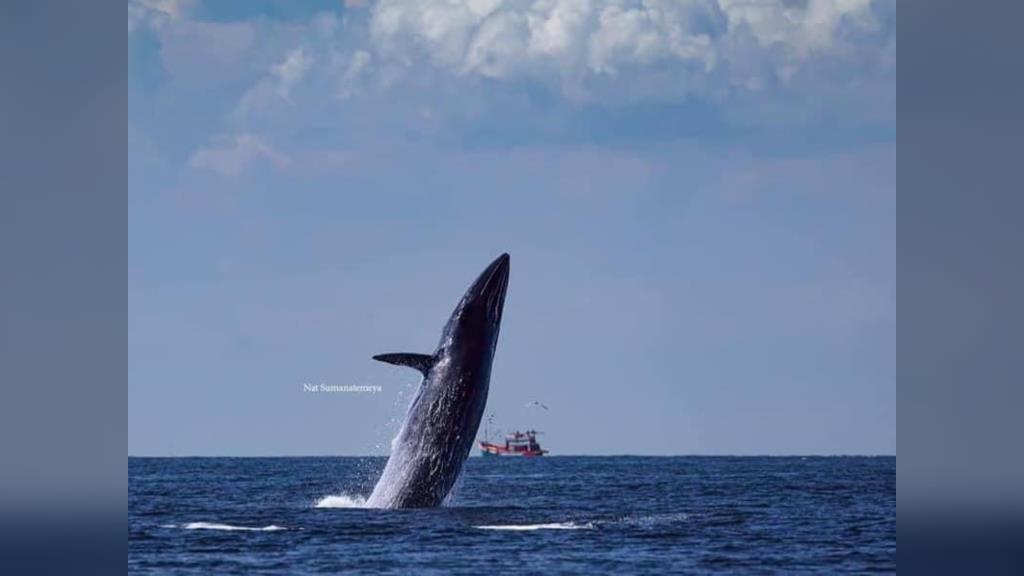"""ดร.ธรณ์ อวดภาพสุดว้าวของธรรมชาติ ขณะ """"วาฬบรูด้า"""" พุ่งทะยานตัวขึ้นจากทะเลอ่าวไทย"""