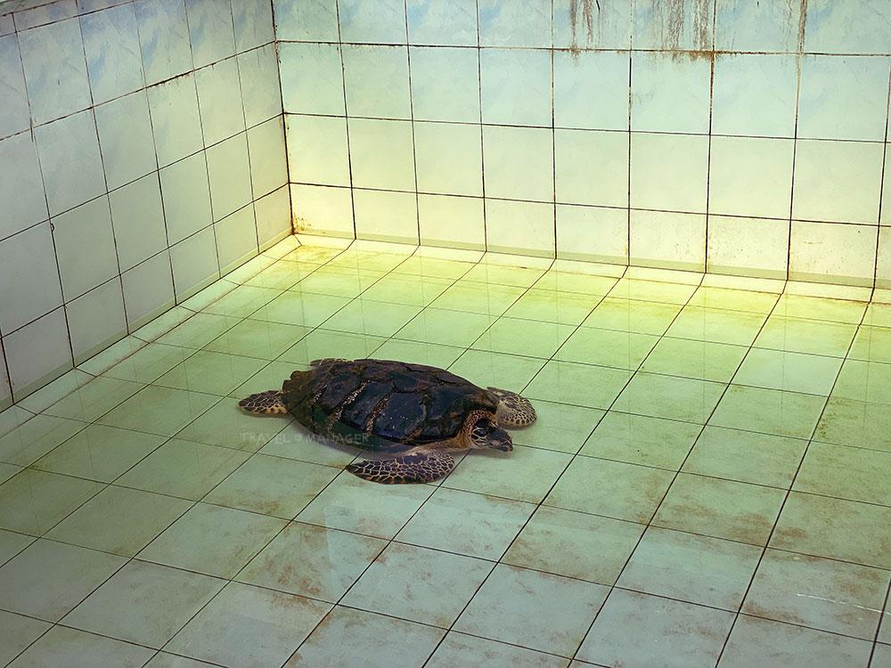 เต่าตนุวัยเจริญพันธุ์