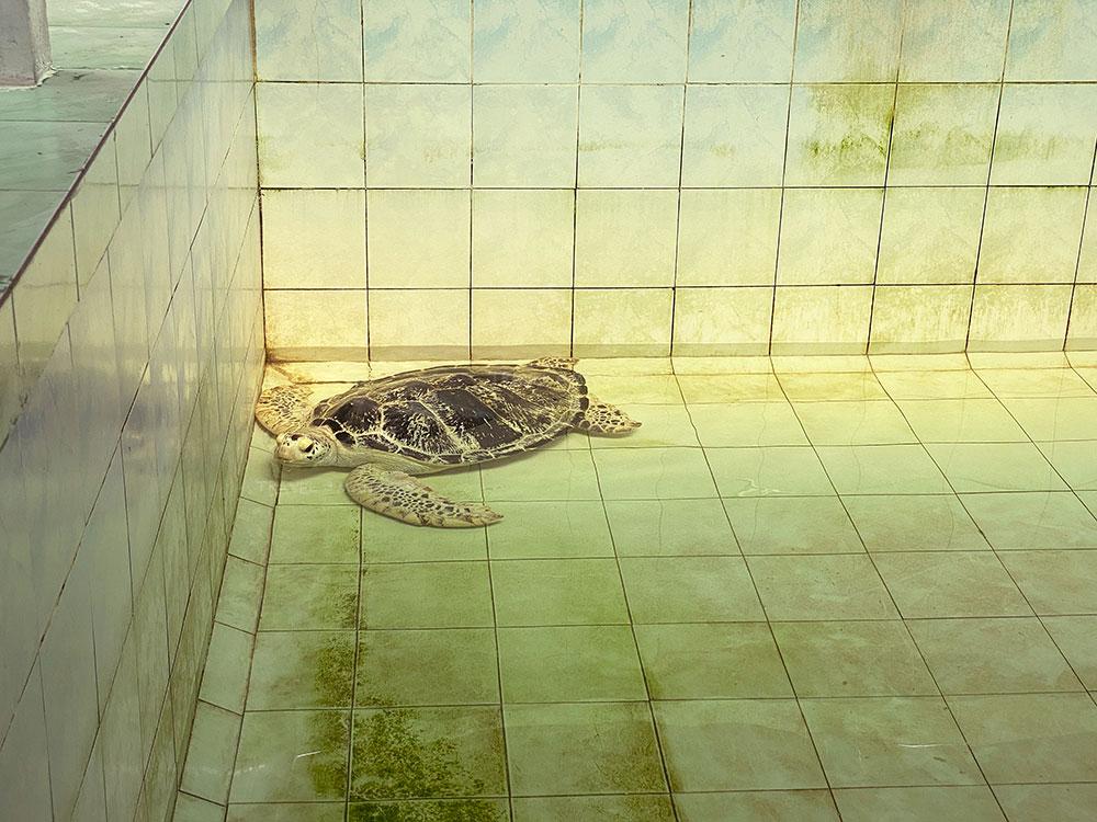 เต่ากระวัยเจริญพันธุ์