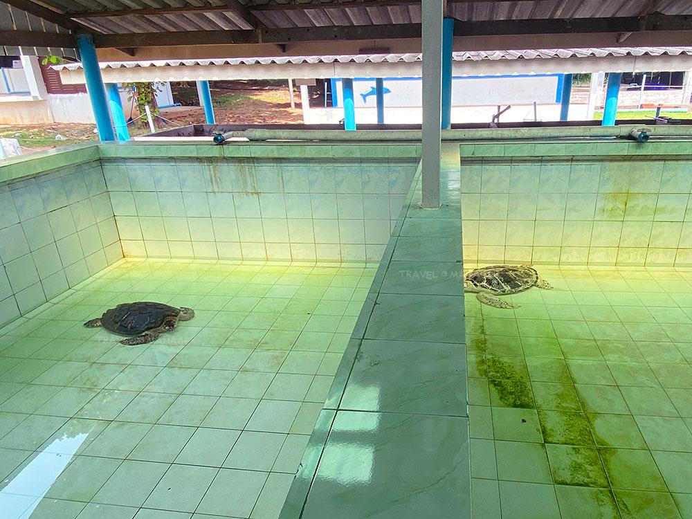 บ่อเต่าวัยเจริญพันธุ์