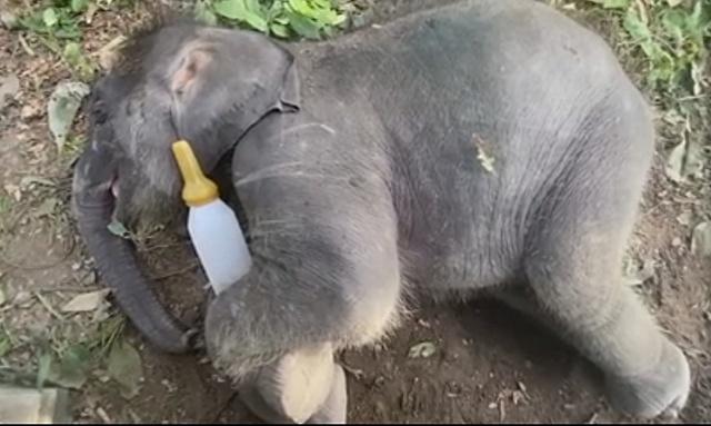 ลูกช้างป่าห้วยขาแข้ง พลัดหลงนานเกือบครึ่งปี ฝึกขึ้นรถให้คุ้นเคย! ก่อนเดินทางไปหาแม่รับที่ลำปาง