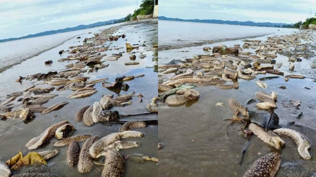 สุดแปลก! พบปลิงทะเลเกยตื้นเกลื่อนริมหาดบางกะไชย จ.จันทบุรี