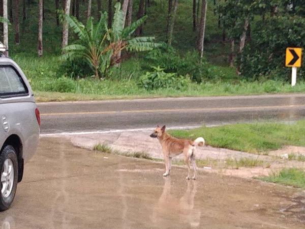 กระบี่ล้อมกรอบสุนัขจรจัดกัดนักท่องเที่ยวตามชายหาด