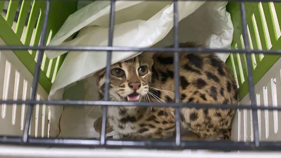 """จับอีก!! """"แมวดาว"""" ถูกจับมาเพราะน่ารัก"""