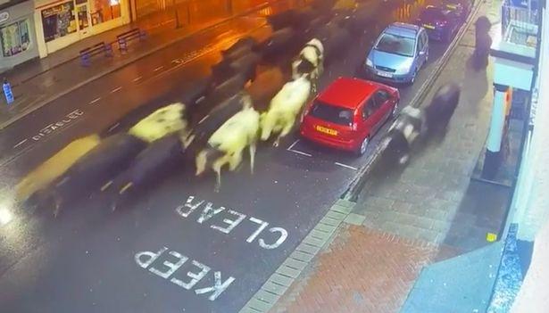 มาไง!วัวเกือบร้อยตัวบุกเมืองอังกฤษ ตำรวจต้องปิดถนนควบคุมสถานการณ์