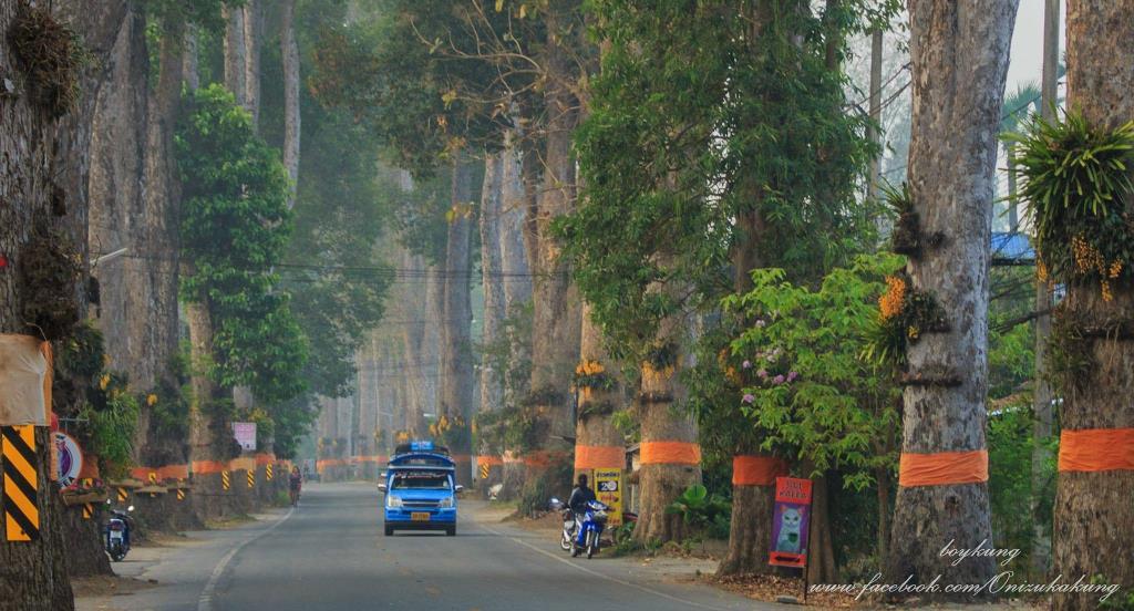 ภาพ – ต้นยางนาเรียงรายสองข้างทางถนนสายเก่าเชียงใหม่-ลำพูน  ที่มา - เพจเฟซบุ๊ก Unseen Tour Thailand : Teerapong Yarangfan