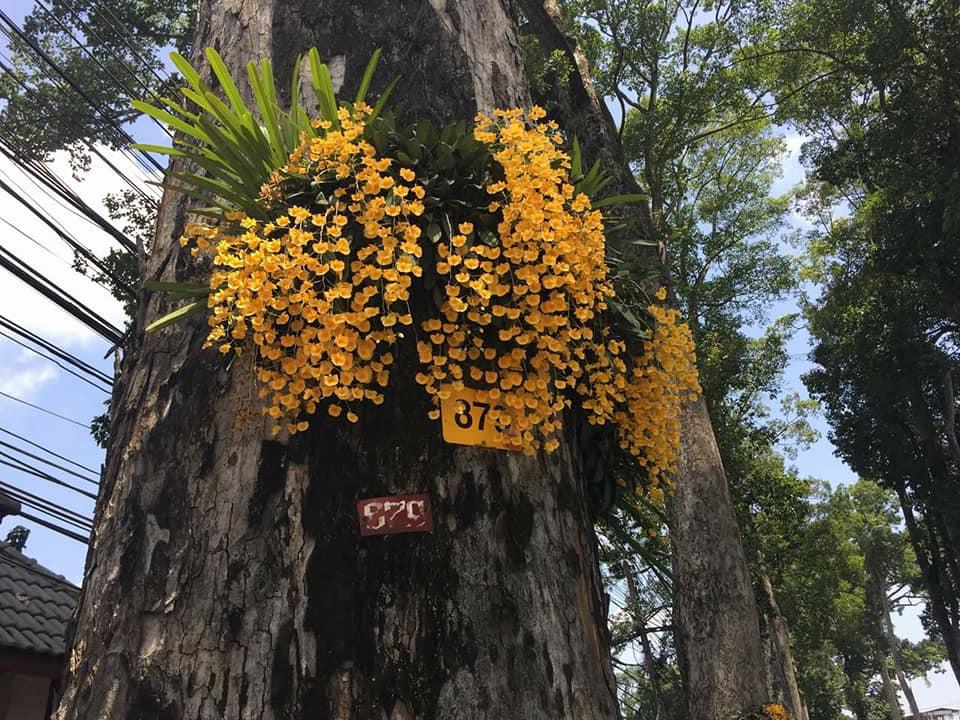 ภาพ – ดอกกล้วยไม้บานสะพรั่งบนต้นยางนา