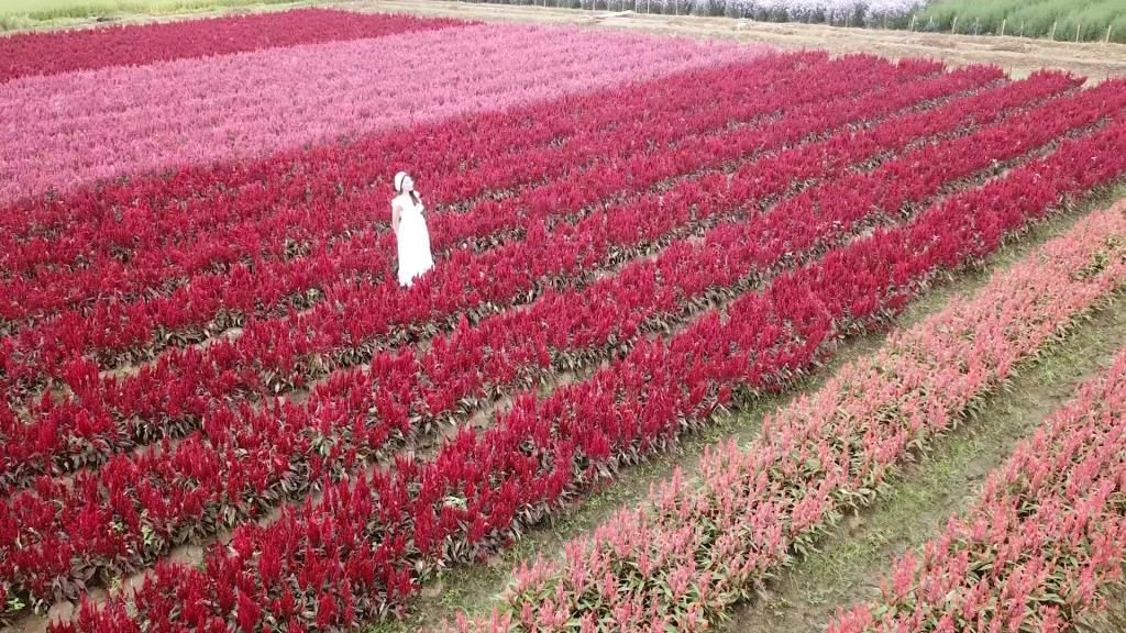 แม่ริมเปิดฤดูท่องเที่ยวดอกไม้บานที่เหมืองแก้ว-ชมสวนสวยสะพรั่งหลากสีสัน