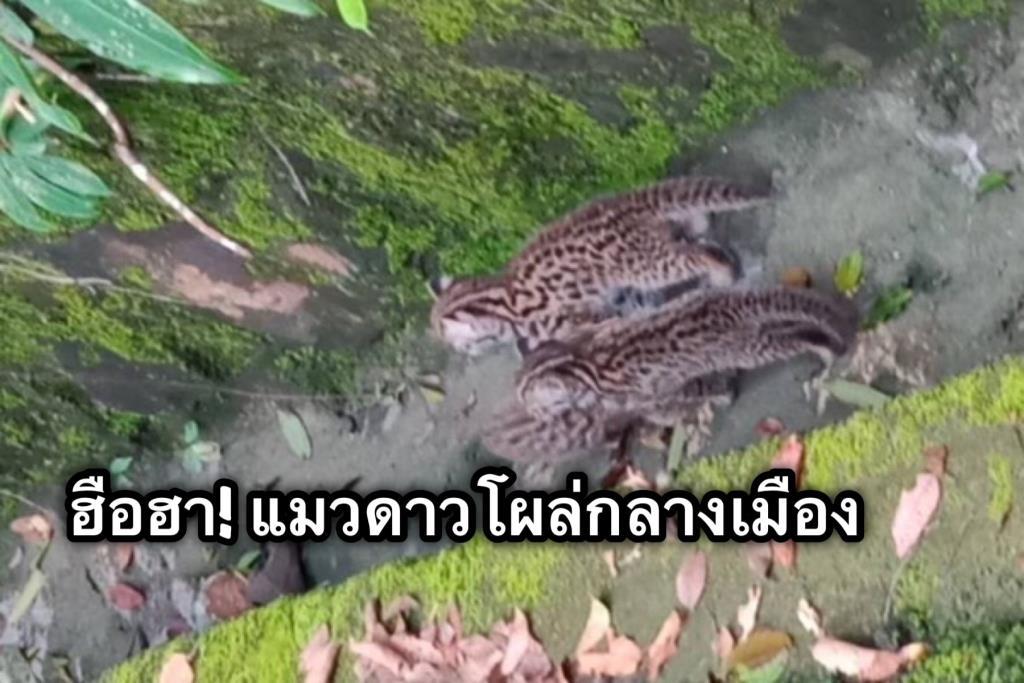 ฮือฮา ! ลูกแมวดาวโผล่อวดโฉมบนเขากลางเมืองกระบี่