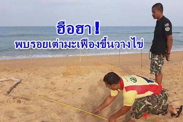 ฮือฮา ! พบร่องรอยเต่าทะเลขึ้นวางไข่หาดบางขวัญ จ.พังงา