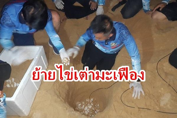 ย้ายไข่เต่ามะเฟืองรังที่ 2 ไปฟักในจุดปลอดภัยหลังพบน้ำทะเลท่วมถึง