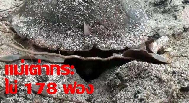 แม่เต่ากระนิรนามขึ้นวางไข่! ที่ปลายอ่าวเทียน สะท้อนชายฝั่งทะเลไทยสงบและปลอดภัย
