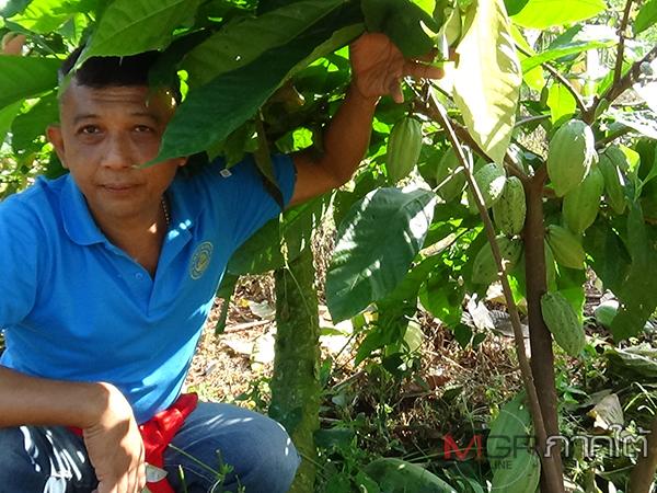 เกษตรกรตรังหันมาปลูกโกโก้แซมพืชหลักเชื่ออนาคตตลาดรุ่ง