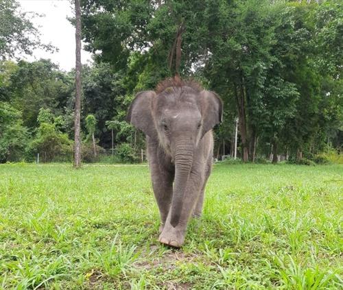 เตรียมลุ้น 5 ช้างแม่รับ! 'ลูกช้างป่าห้วยขาแข้ง' ออกเดินทางไปลำปางแล้ว (ชมคลิป)