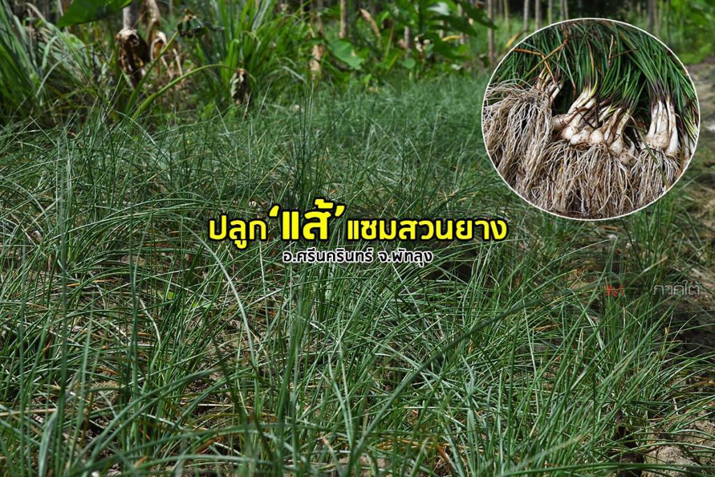 เกษตรกรบ้านขามปลูก 'แส้' เป็นพืชแซมสวนยาง สร้างเศรษฐกิจสร้างรายได้สู่ชุมชน